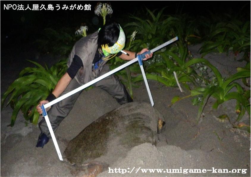 ウミガメ生態調査_甲長測定